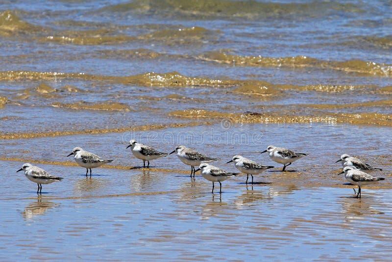 Κοπάδι των πουλιών στο νερό, πορτογαλικό νησί, Μοζαμβίκη στοκ εικόνες με δικαίωμα ελεύθερης χρήσης