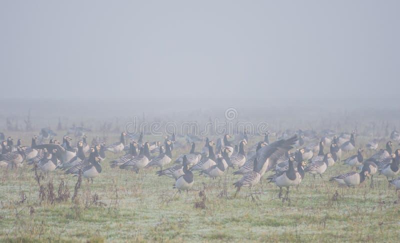 Κοπάδι των χήνων λαβίδων στοκ φωτογραφία με δικαίωμα ελεύθερης χρήσης
