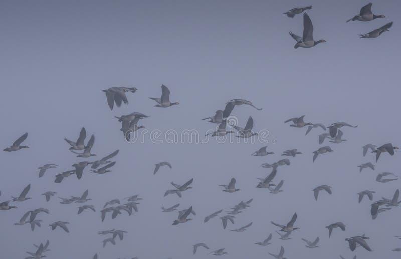 Κοπάδι των χήνων λαβίδων στοκ φωτογραφίες με δικαίωμα ελεύθερης χρήσης