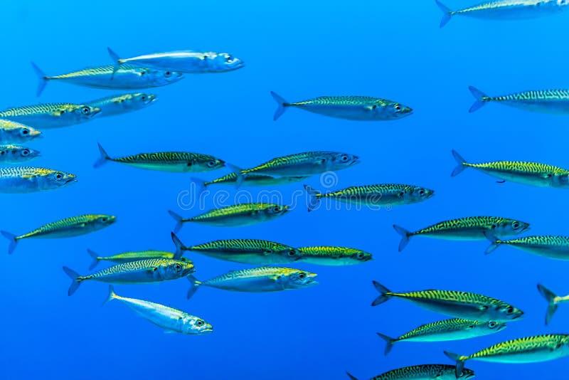 Κοπάδι των ψαριών στοκ εικόνες