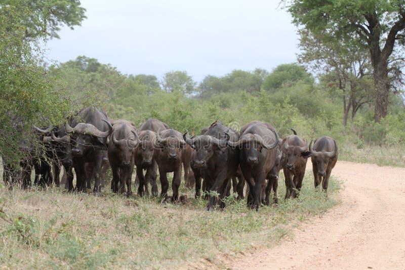 Κοπάδι Buffalo στοκ φωτογραφία