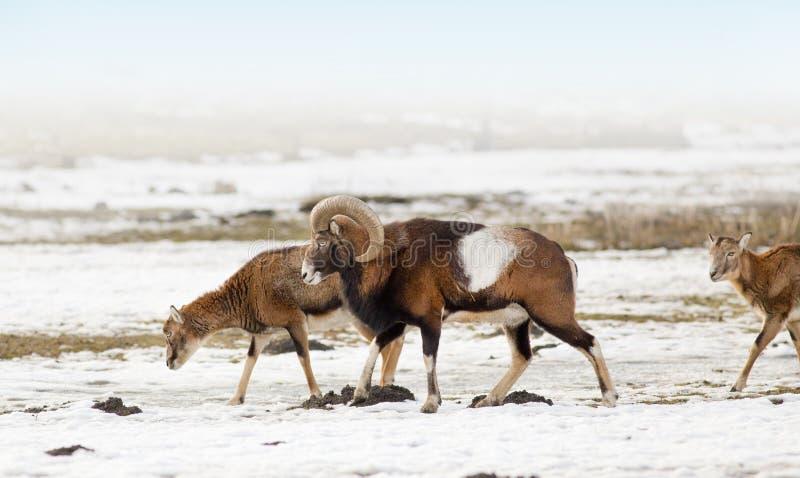 Κοπάδι Mouflon στοκ εικόνα