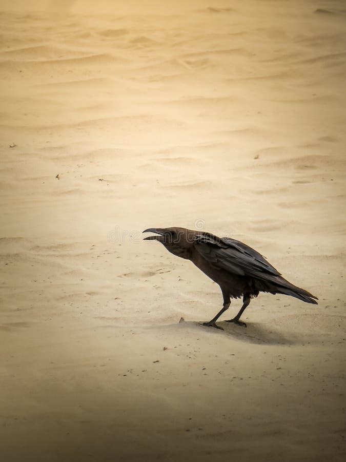 Κοράκι/κόρακας στους αμμόλοφους στοκ φωτογραφία