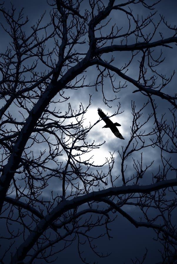 κοράκι μεσάνυχτων στοκ εικόνες