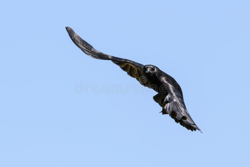 κοράκι πτήσης στοκ φωτογραφίες