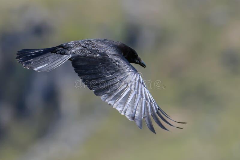 κοράκι πτήσης στοκ φωτογραφία με δικαίωμα ελεύθερης χρήσης