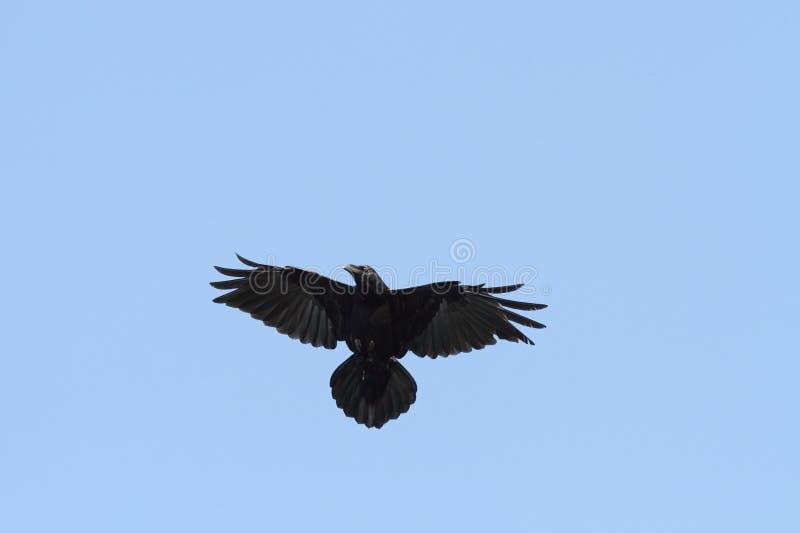 Κοράκι στον ουρανό στοκ φωτογραφίες με δικαίωμα ελεύθερης χρήσης