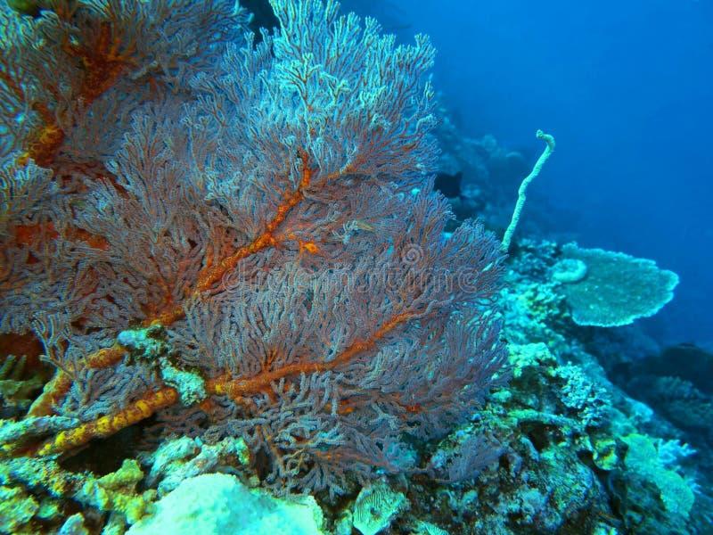 Κοράλλια της Γοργονίας στοκ φωτογραφία με δικαίωμα ελεύθερης χρήσης