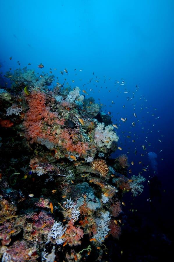 κοράλλια στοκ εικόνα