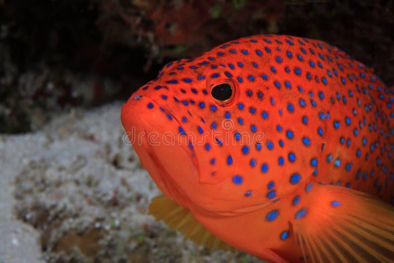 Κοράλλι οπίσθιο στοκ εικόνα με δικαίωμα ελεύθερης χρήσης