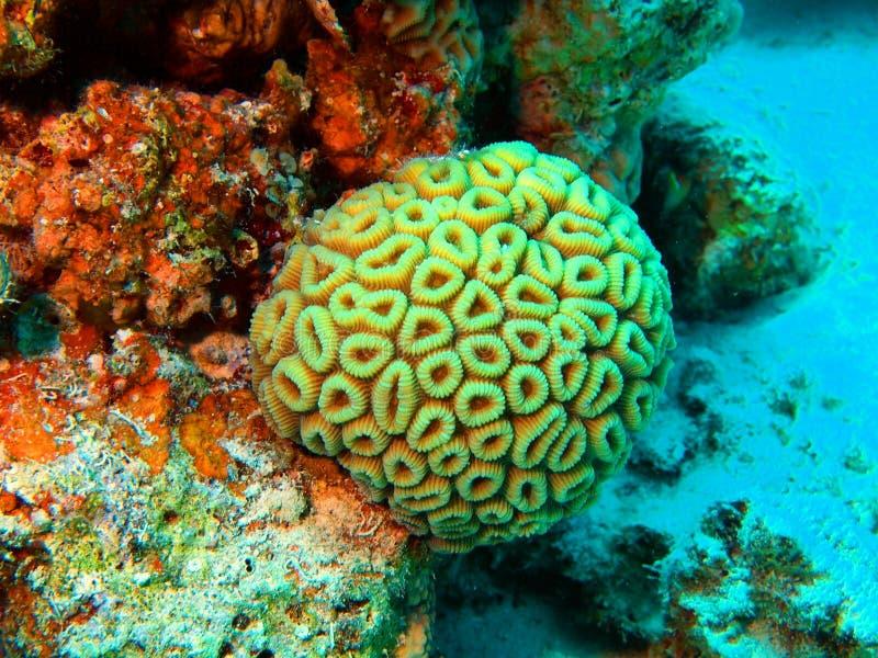Κοράλλι πετρών στοκ εικόνα
