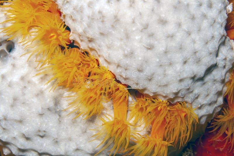 Κοράλλι πορτοκαλί, Tubastraea coccinea στοκ φωτογραφίες με δικαίωμα ελεύθερης χρήσης