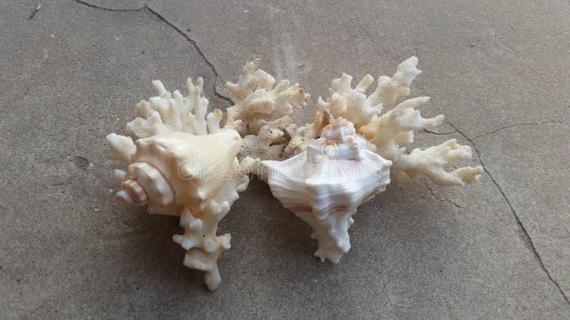 Κοράλλι και κοχύλι στοκ φωτογραφία με δικαίωμα ελεύθερης χρήσης