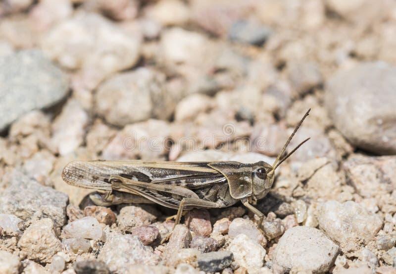 Κοράλλι-φτερωτό Grasshopper (apiculata Pardalophora) στο έδαφος στοκ εικόνες