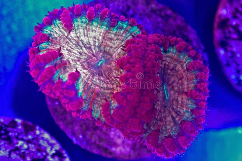 Κοράλλι Blastomussa στοκ φωτογραφίες με δικαίωμα ελεύθερης χρήσης