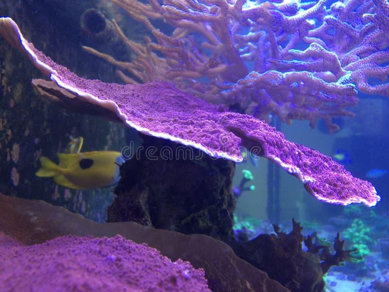 Κοράλλι Montipora σε μια δεξαμενή σκοπέλων στοκ εικόνες