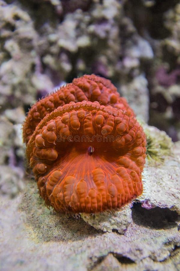 Κοράλλι wellsi Blastomussa στοκ φωτογραφία με δικαίωμα ελεύθερης χρήσης