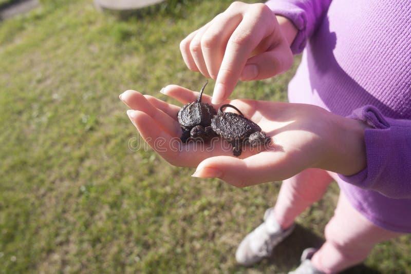 Κορίτσι που κρατά δύο νεανικές σπάζοντας απότομα χελώνες στοκ εικόνες