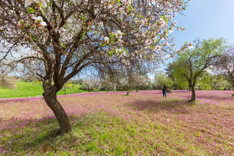 Κορίτσι που φωτογραφίζει τις ανθίζοντας αμυγδαλιές και τα πορφυρά λουλούδια μέσα στοκ εικόνες με δικαίωμα ελεύθερης χρήσης