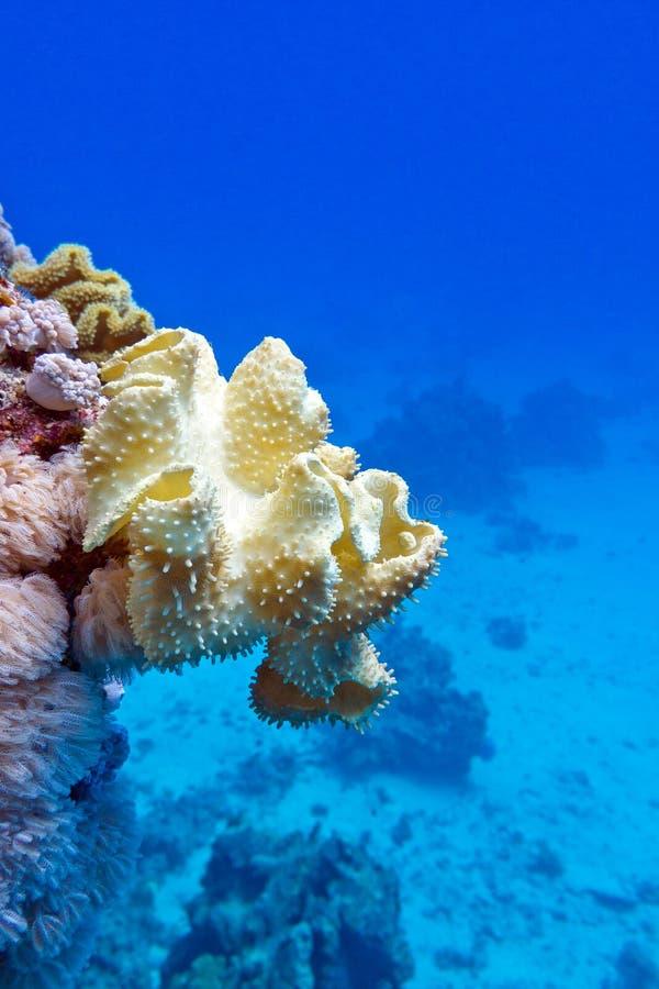 Κοραλλιογενής ύφαλος με το μεγάλο κίτρινο μαλακό δέρμα μανιταριών κοραλλιών στο κατώτατο σημείο της τροπικής θάλασσας, υποβρύχιο στοκ εικόνες