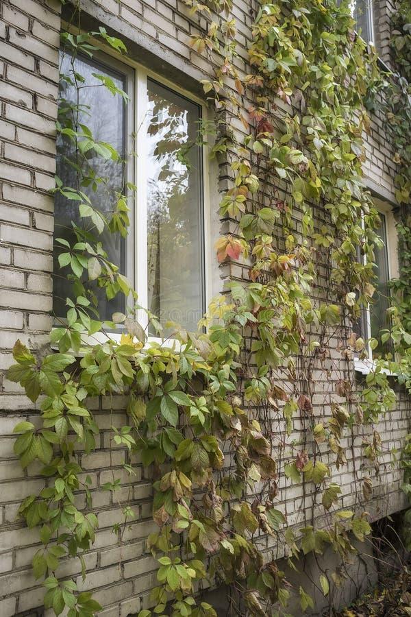 Κοριτσίστικο quinquefolia Parthenocissus σταφυλιών decorat υπέροχα στοκ εικόνες με δικαίωμα ελεύθερης χρήσης