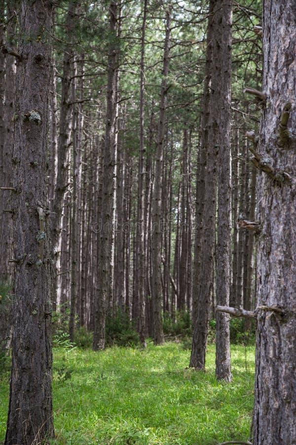 Κορμοί δέντρων κωνοφόρων στοκ φωτογραφίες