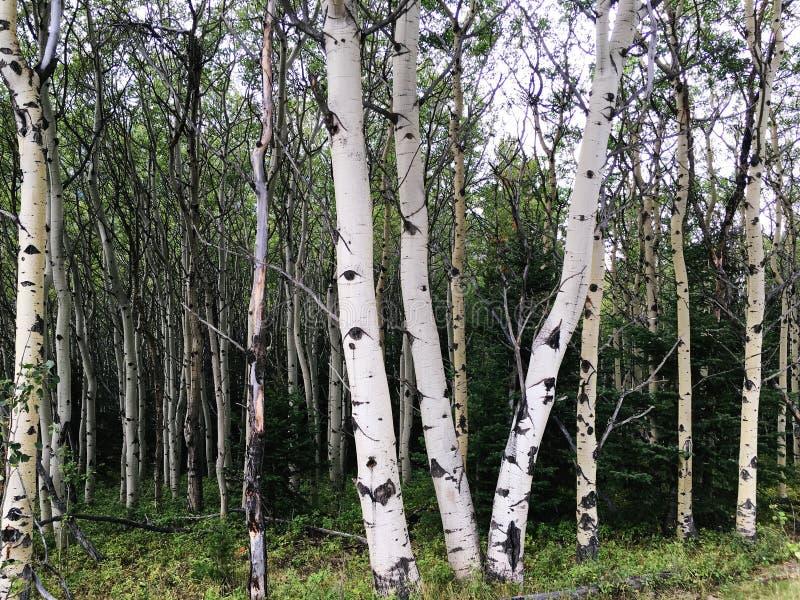 Κορμοί δέντρων σημύδων στα δύσκολα βουνά Αλμπέρτα στοκ εικόνα με δικαίωμα ελεύθερης χρήσης