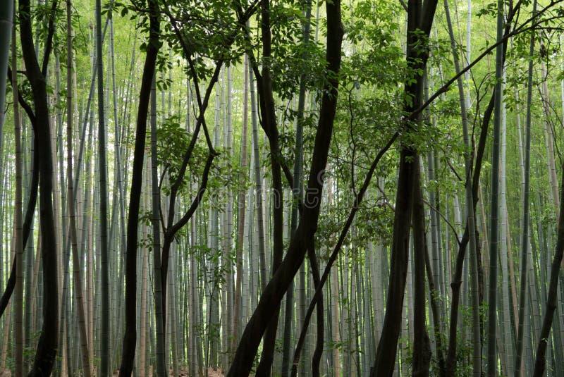 Κορμοί μπαμπού στις διαφορετικές σκιές πράσινου σε ένα δάσος μπαμπού στοκ εικόνα με δικαίωμα ελεύθερης χρήσης