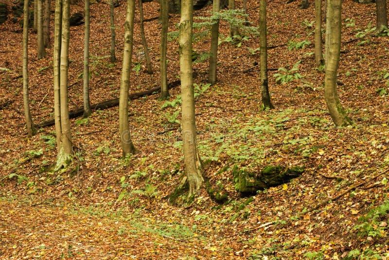 Κορμοί οξιών το φθινόπωρο στοκ φωτογραφία με δικαίωμα ελεύθερης χρήσης