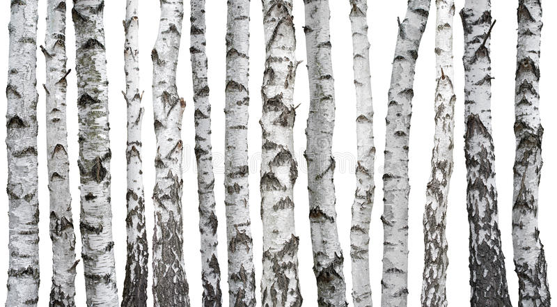 Κορμοί σημύδων που απομονώνονται στο λευκό στοκ φωτογραφίες με δικαίωμα ελεύθερης χρήσης