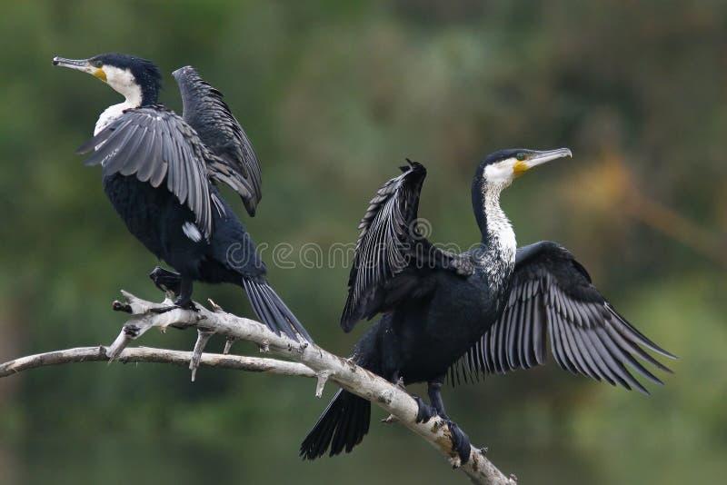 κορμοράνοι που ξεραίνουν τα φτερά τους στοκ εικόνες με δικαίωμα ελεύθερης χρήσης