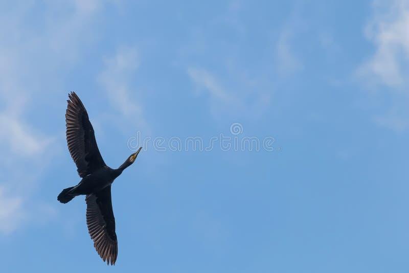 Κορμοράνος κατά την πτήση ενάντια σε έναν φωτεινό μπλε ουρανό στοκ εικόνες με δικαίωμα ελεύθερης χρήσης