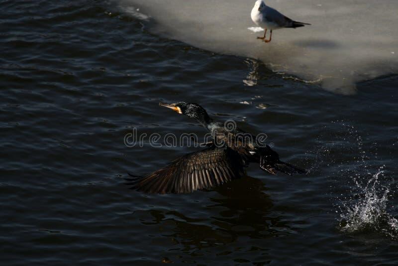 Κορμοράνος - κολυμπά καλά και βουτά, το φτέρωμα δεν είναι αδιάβροχο, όμορφο πουλί στοκ εικόνες με δικαίωμα ελεύθερης χρήσης