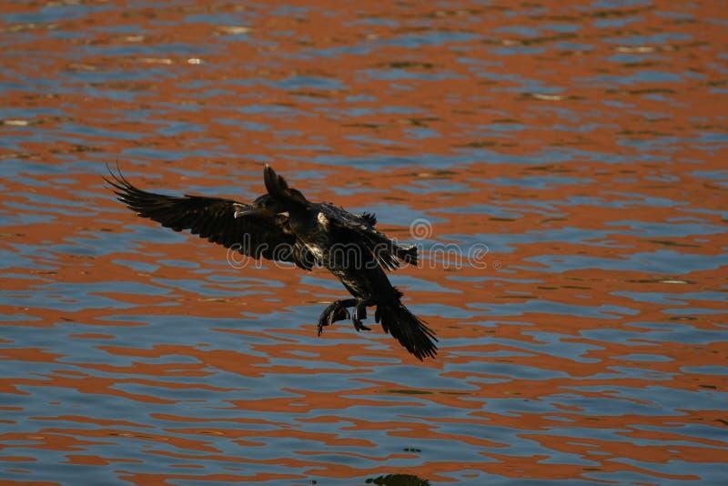 Κορμοράνος - κολυμπά καλά και βουτά, το φτέρωμα δεν είναι αδιάβροχο, όμορφο πουλί στοκ φωτογραφία