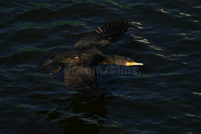 Κορμοράνος - κολυμπά καλά και βουτά, το φτέρωμα δεν είναι αδιάβροχο, όμορφο πουλί στοκ φωτογραφία με δικαίωμα ελεύθερης χρήσης