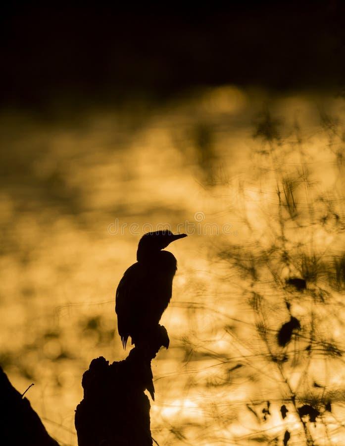 Κορμοράνος στο ηλιοβασίλεμα στο άδυτο πουλιών Bharatpur, Rajasthan, Ινδία στοκ φωτογραφίες