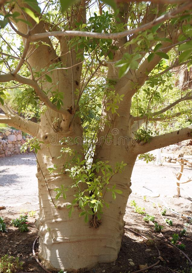 Κορμός δέντρων αδανσωνιών στοκ φωτογραφία με δικαίωμα ελεύθερης χρήσης