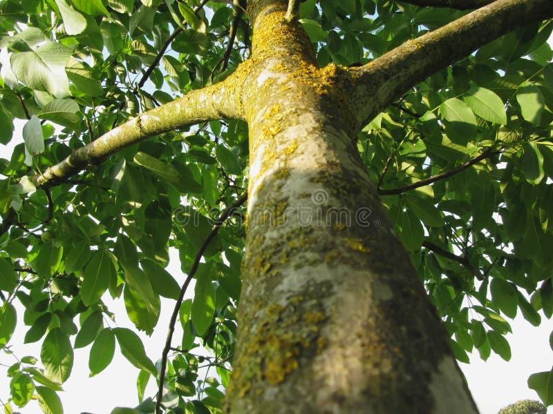 Κορμός δέντρων ξύλων καρυδιάς με τον κίτρινους μύκητα και τις λειχήνες βρύου στοκ εικόνα
