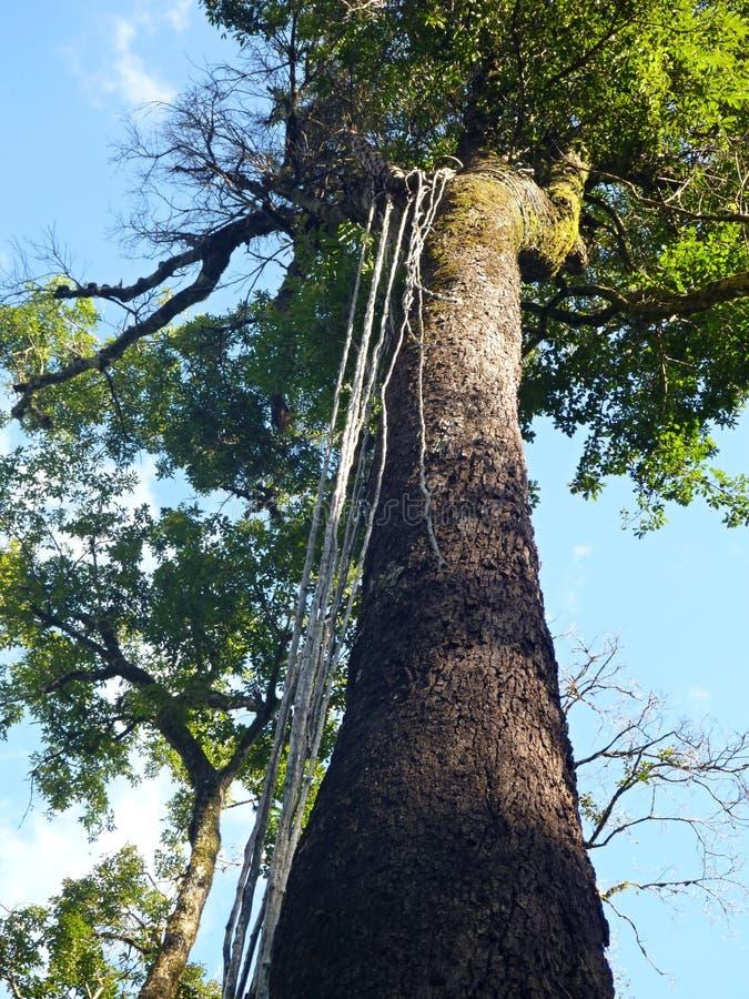 Κορμός δέντρων σε ένα τροπικό δάσος στοκ εικόνες