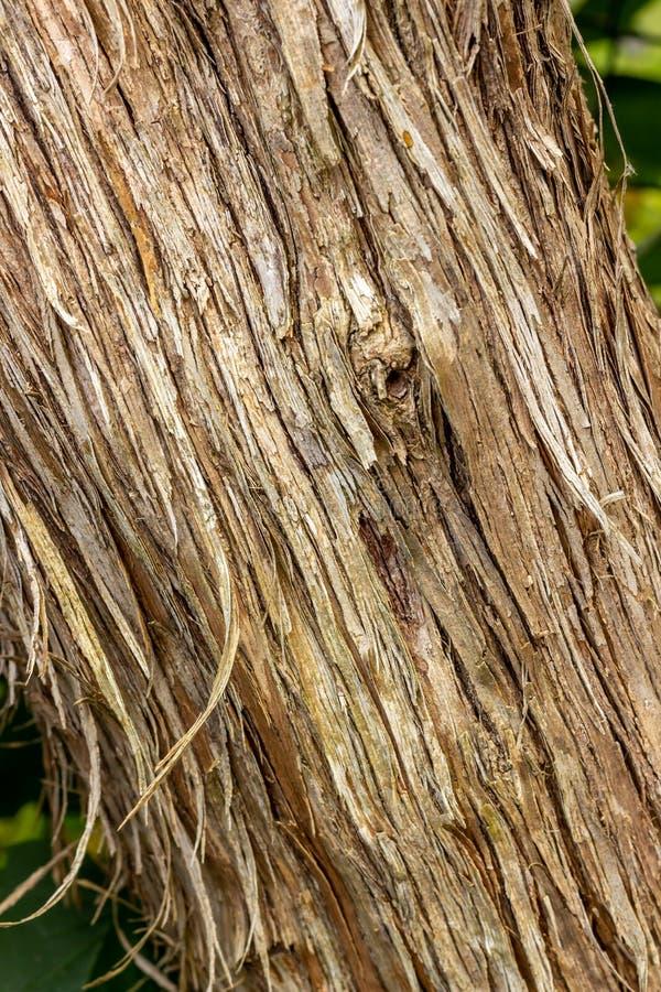 Κορμός δέντρων διαγώνια με το φλοιό του στοκ φωτογραφίες με δικαίωμα ελεύθερης χρήσης