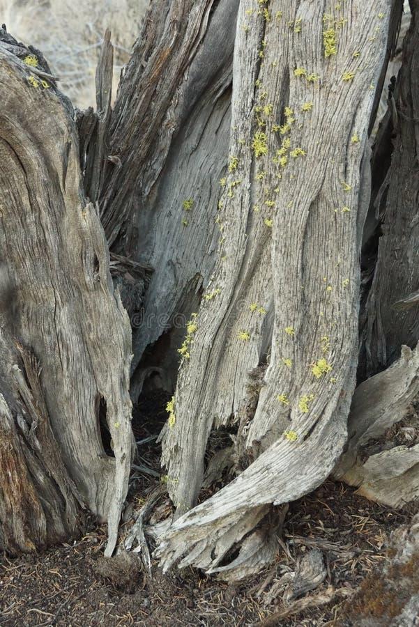 Κορμός δέντρων ιουνιπέρων σε αργά το απόγευμα στοκ φωτογραφίες