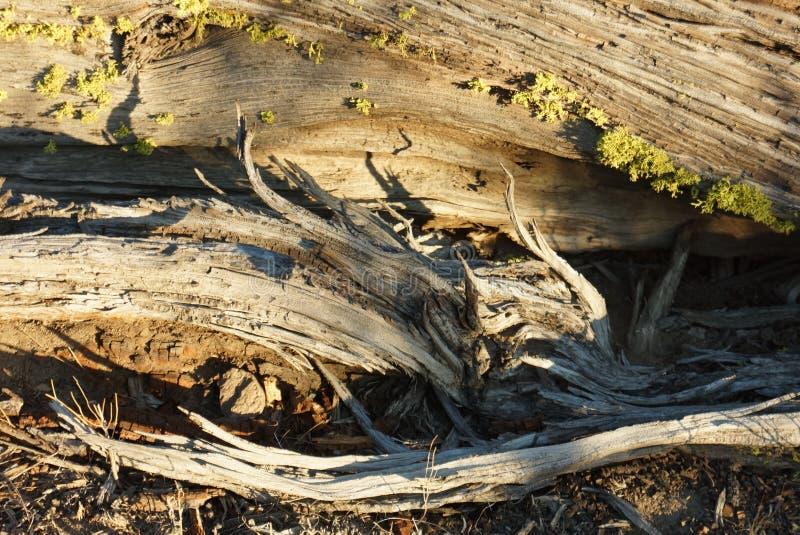 Κορμός δέντρων ιουνιπέρων σε αργά το απόγευμα στοκ εικόνα με δικαίωμα ελεύθερης χρήσης