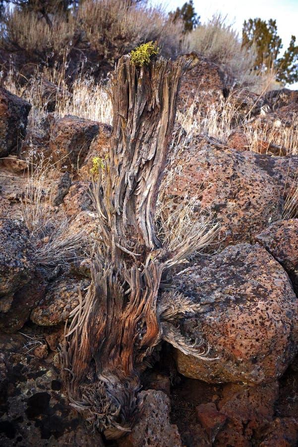 Κορμός δέντρων ιουνιπέρων σε αργά το απόγευμα στοκ φωτογραφία με δικαίωμα ελεύθερης χρήσης