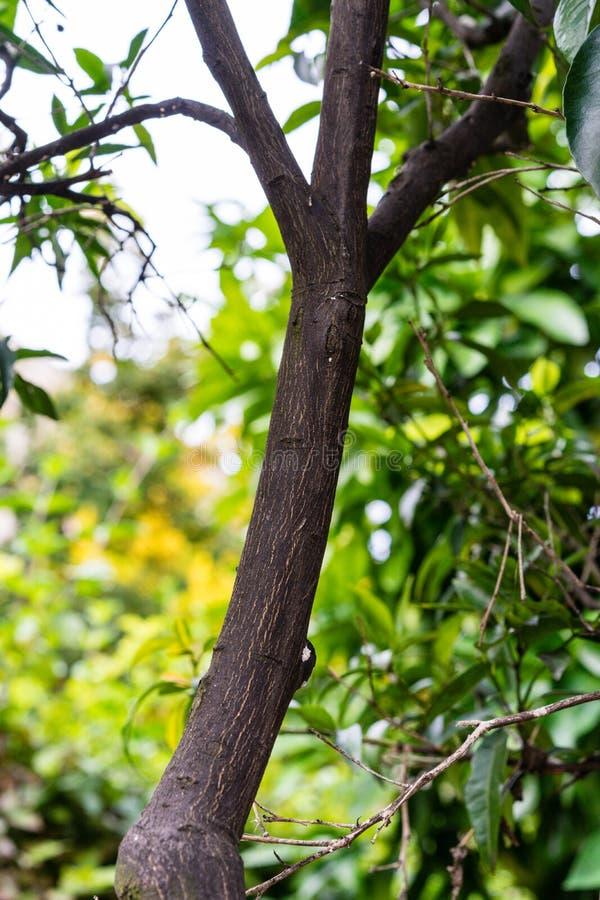 Κορμός δέντρων και φύλλα του δέντρου φυτών μανταρινιών reticulata εσπεριδοειδών στοκ εικόνα με δικαίωμα ελεύθερης χρήσης