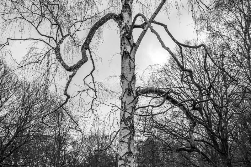 Κορμός δέντρων σημύδων με τους μεγάλους κλάδους στο γκρίζο υπόβαθρο ουρανού στοκ εικόνες