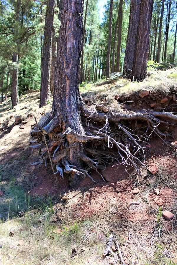 Κορμός δέντρων στη λίμνη φαραγγιών ξύλων, κομητεία Coconino, Αριζόνα, Ηνωμένες Πολιτείες στοκ εικόνα