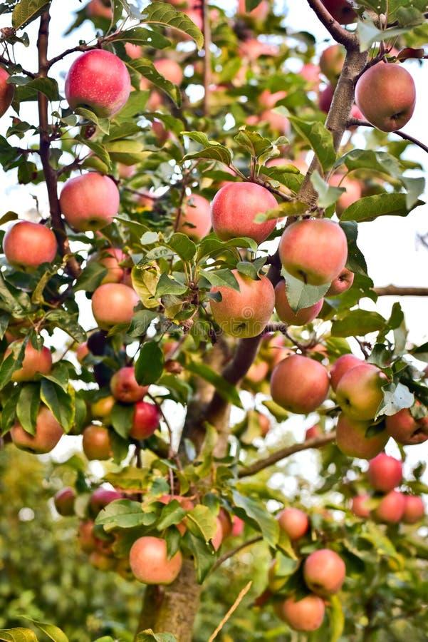 Κορμός δέντρων της Apple και πολλά κόκκινα μήλα στοκ εικόνες
