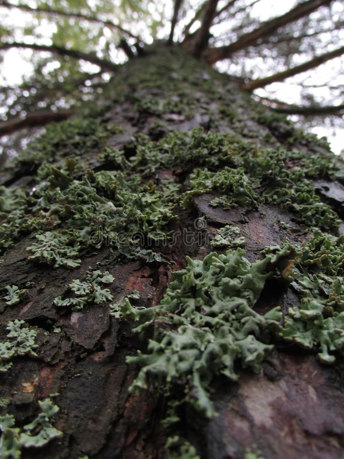 Κορμός ενός παλαιού δέντρου που καλύπτεται με τη λειχήνα στοκ εικόνα