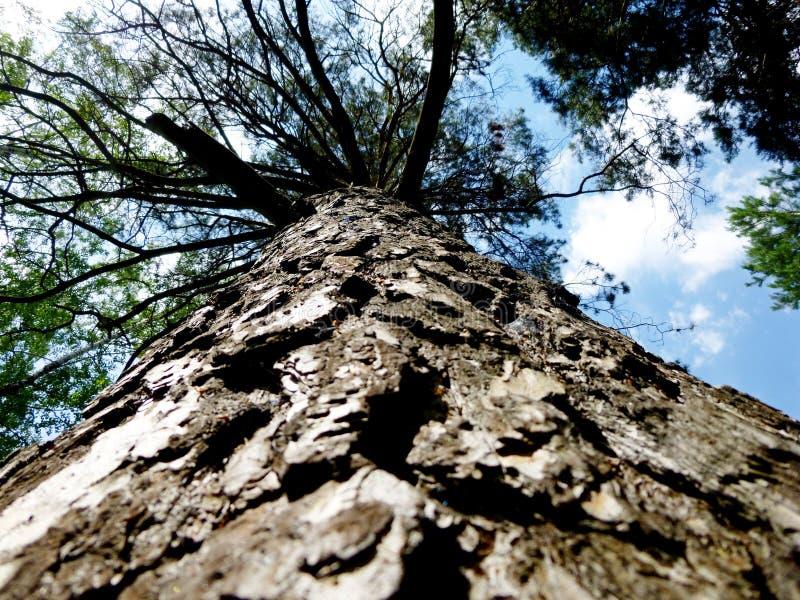 Κορμός του δέντρου κατωτέρω προς τα πάνω Πολύ παλαιό πεύκο Στο υπόβαθρο του ουρανού με τα σύννεφα στοκ εικόνα με δικαίωμα ελεύθερης χρήσης