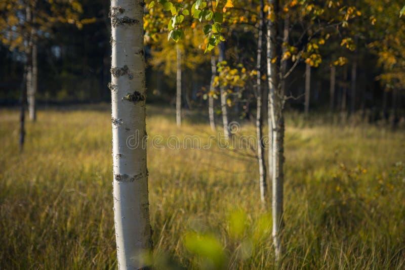 Κορμός του δέντρου σημύδων στοκ εικόνες με δικαίωμα ελεύθερης χρήσης